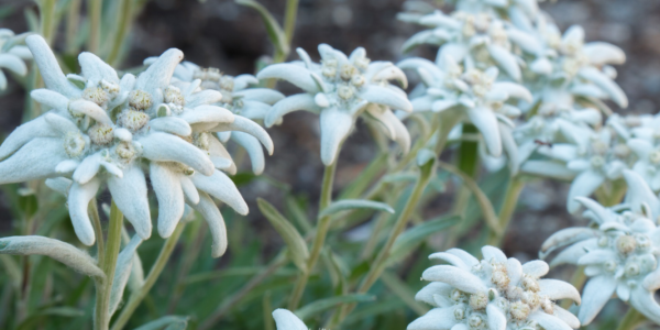 Blütenwunder Edelweiss